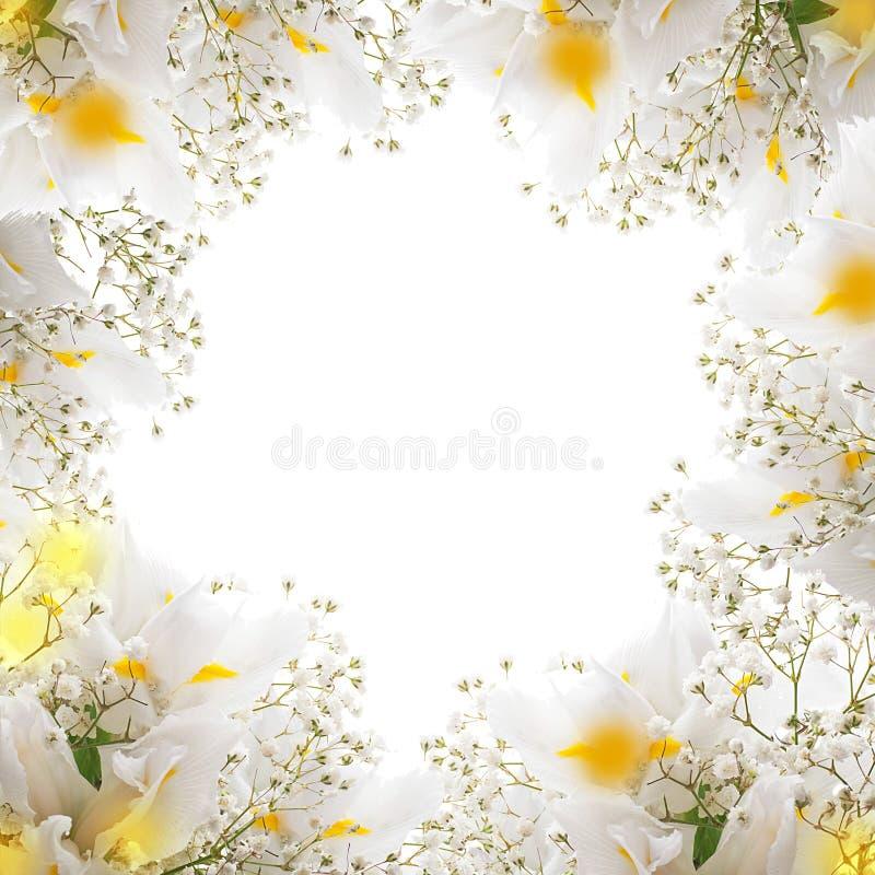 Witte irissen stock foto's