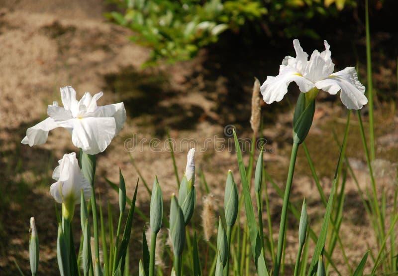 Witte Irissen bij koko-Engelse Tuinen royalty-vrije stock fotografie