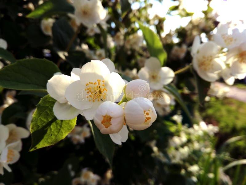Witte jasmijnbloemen royalty-vrije stock afbeeldingen