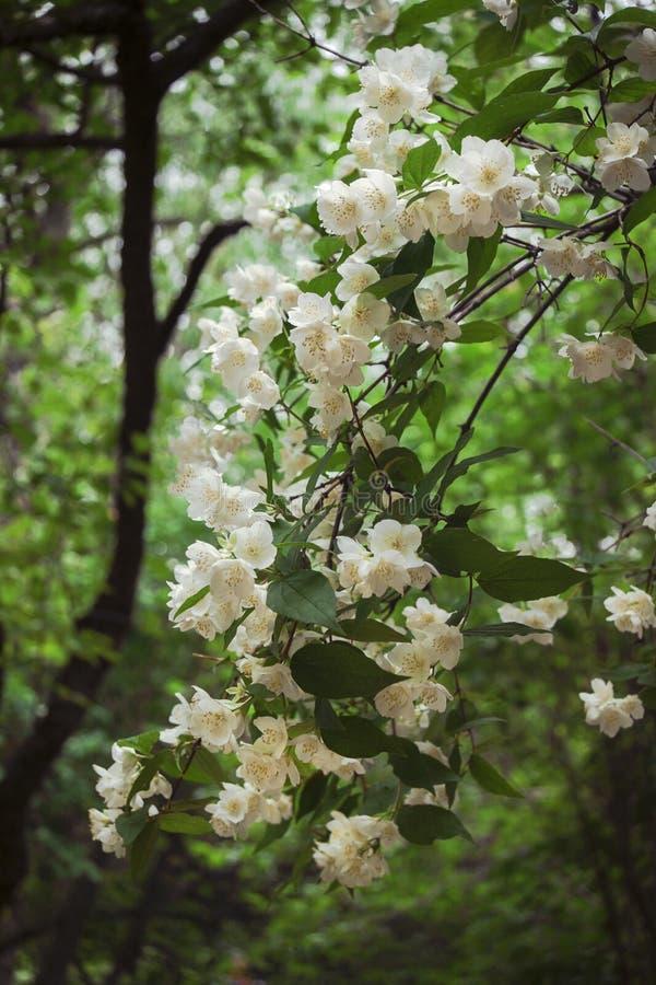 Witte jasmijnbloemen op een tak, op een parkachtergrond stock foto