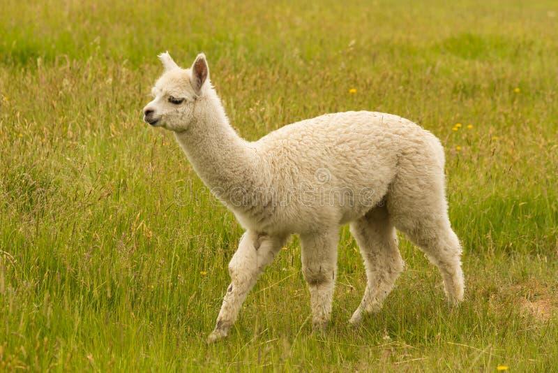 Witte jonge alpaca over groen glas stock afbeeldingen