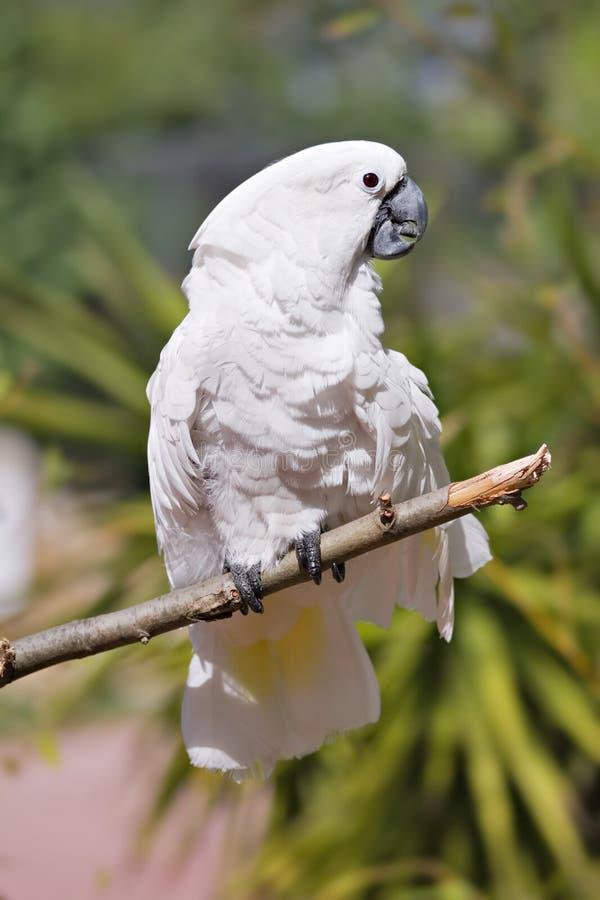 Witte Kaketoe op een Stok stock afbeelding