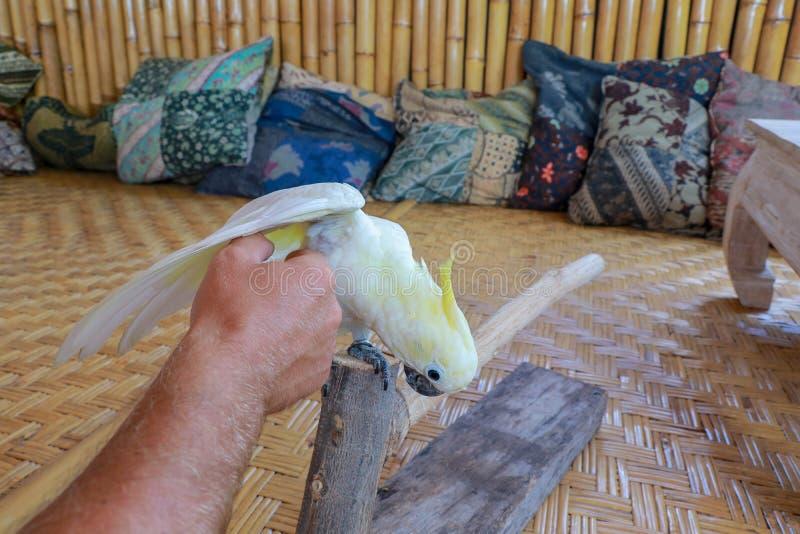 Witte kaketoe op zijn toppositie Snoezige papegaai op een tak Een huisdier dat houdt van te raken Grote en sterke bek Witte veer  stock fotografie