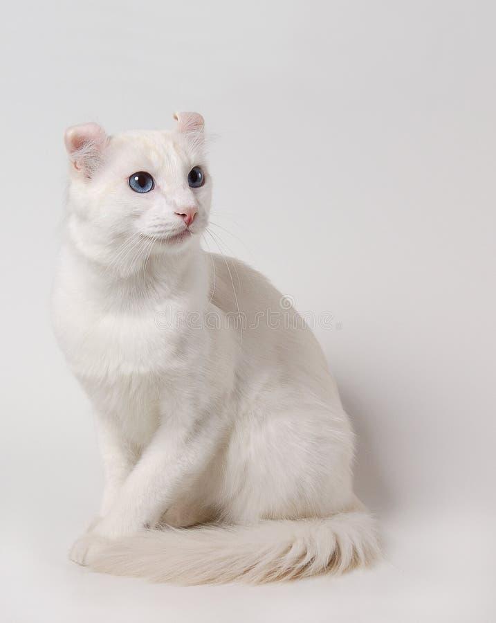 Witte kat royalty-vrije stock foto