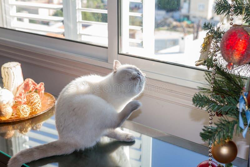 Witte kat dichtbij Kerstboom dichtbij een venster royalty-vrije stock foto's