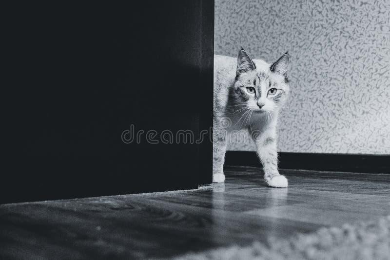 Witte kat die uit rond de hoek van een rek dicht omhoog komt royalty-vrije stock fotografie