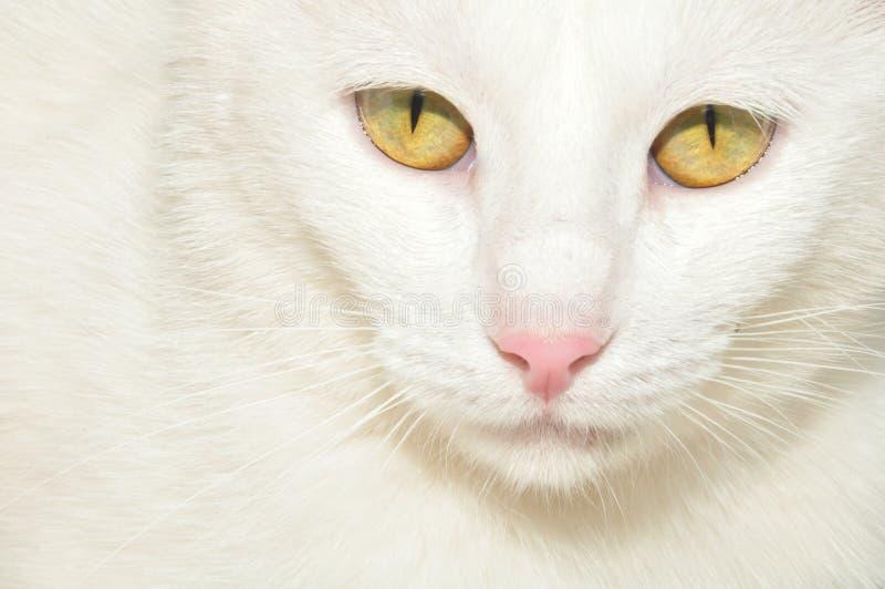 Witte kat met gele ogen stock foto