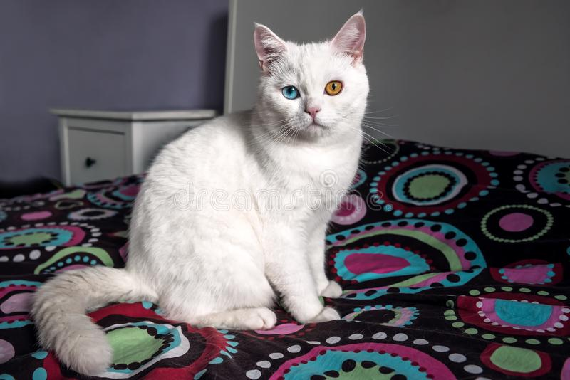 Witte kat met verschillende ogen stock fotografie