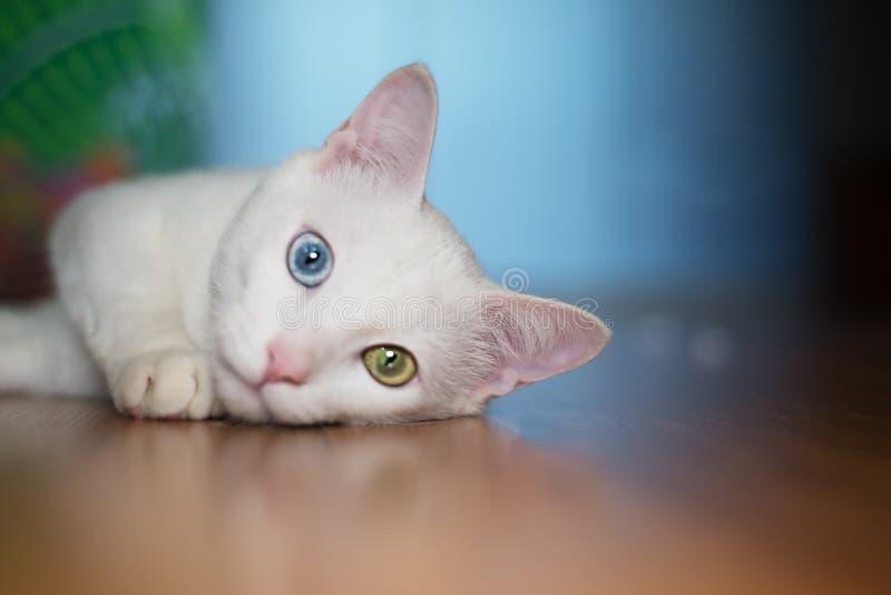 Witte kat met verschillende ogenkleur royalty-vrije stock afbeeldingen