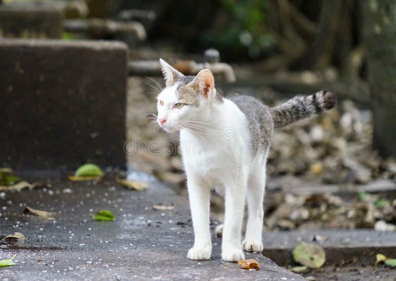Witte kat twee toonkat stock fotografie