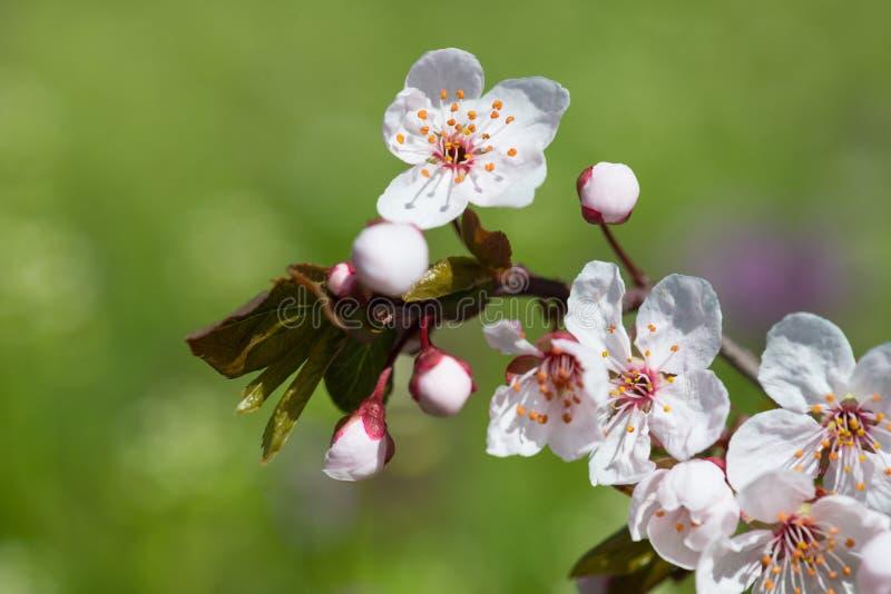 Download Witte Kersenbloem In De Lente Stock Afbeelding - Afbeelding bestaande uit close, achtergrond: 54088689