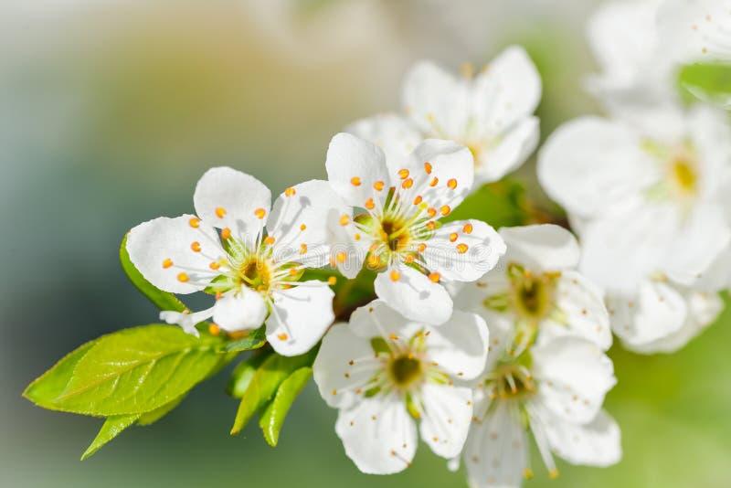 Witte kersenbloesem royalty-vrije stock afbeelding