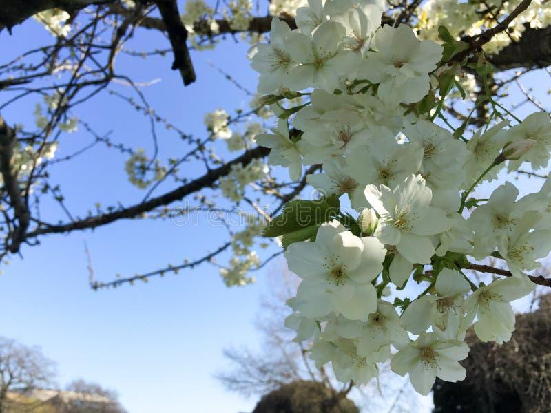 Witte kersenbloesems royalty-vrije stock fotografie