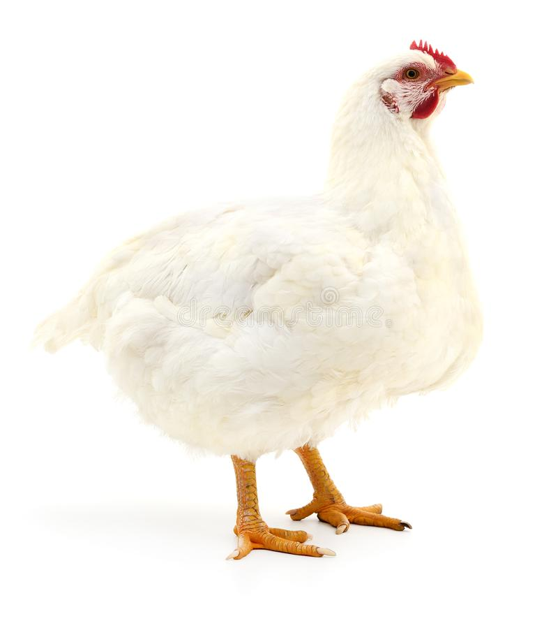 Witte kip op wit royalty-vrije stock fotografie