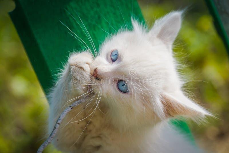 Witte Kitten Plays met Koord stock afbeelding