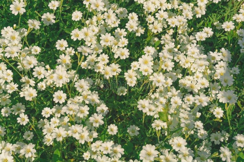 Witte kleine bloemen stock foto's
