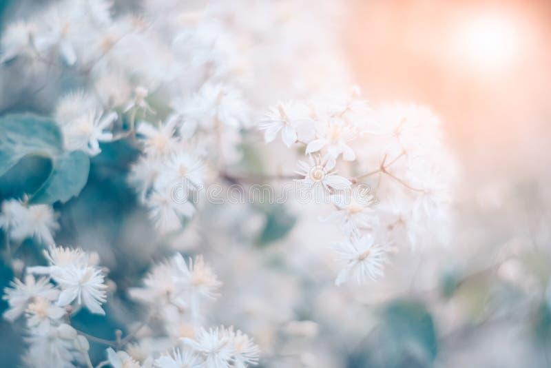 Witte kleine bloemen van clematissen in het zonlicht, gestemd mooi Bloeiende zachte natuurlijke achtergrond Zachte, selectieve na stock foto
