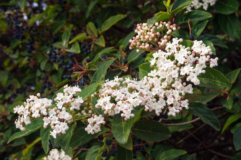 Witte kleine bloemen van tinus van Viburnum van de viburnumlaurier Mediterrane boom met kleine witte of roze bloemen en zwarte be royalty-vrije stock foto's