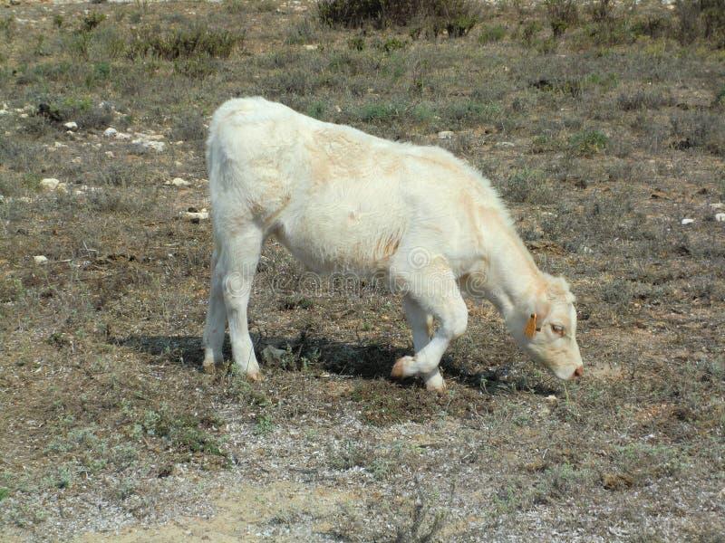 Witte koe die droog gras weiden door de kust stock foto