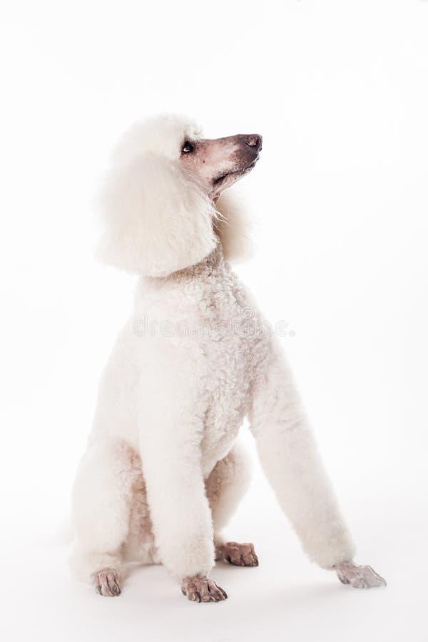 Witte Koninklijke poedel op wit royalty-vrije stock afbeeldingen