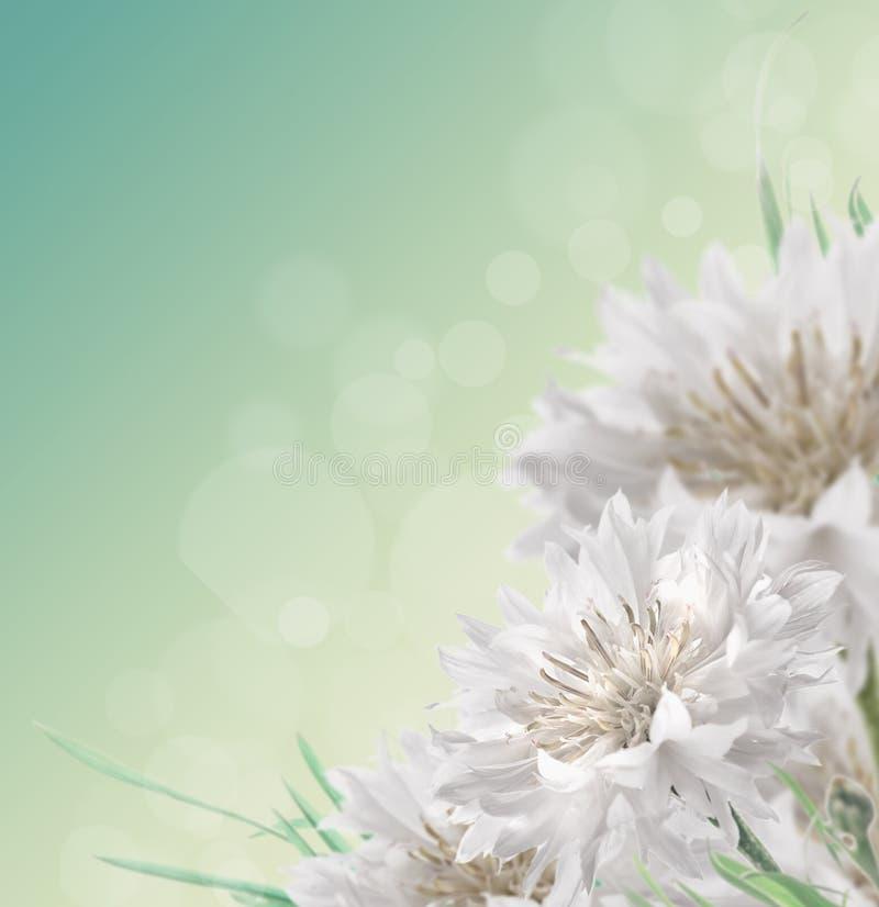 Witte korenbloemen, blauwe bloemenachtergrond met boke stock foto's