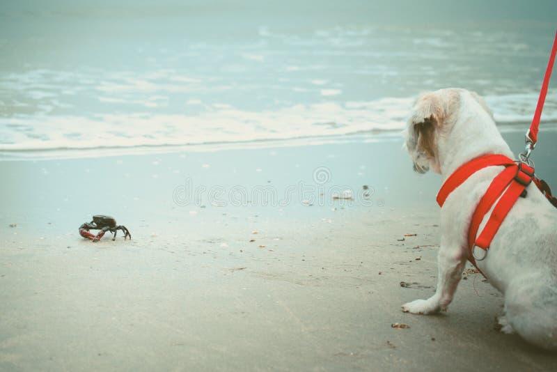 Witte korte tzuhond van haarshih met de rode leiband zitting en het staren bij de zwarte krab op het witte zandige strand royalty-vrije stock fotografie