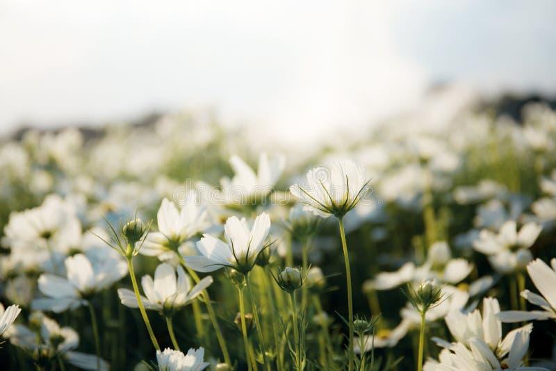 Witte kosmos in de tuin royalty-vrije stock afbeelding