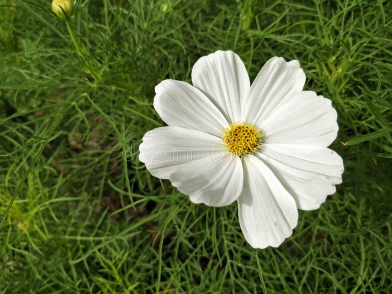 Witte kosmos die met vage natuurlijke gebiedslandbouwgrond bloeien stock afbeeldingen