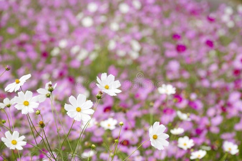 Witte kosmosbloemen stock afbeelding