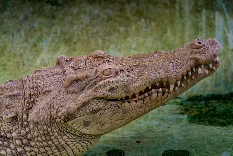 Witte Krokodil in de dierentuin royalty-vrije stock foto's