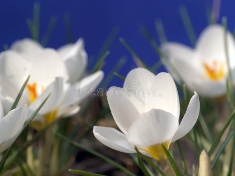 Witte krokussen royalty-vrije stock foto
