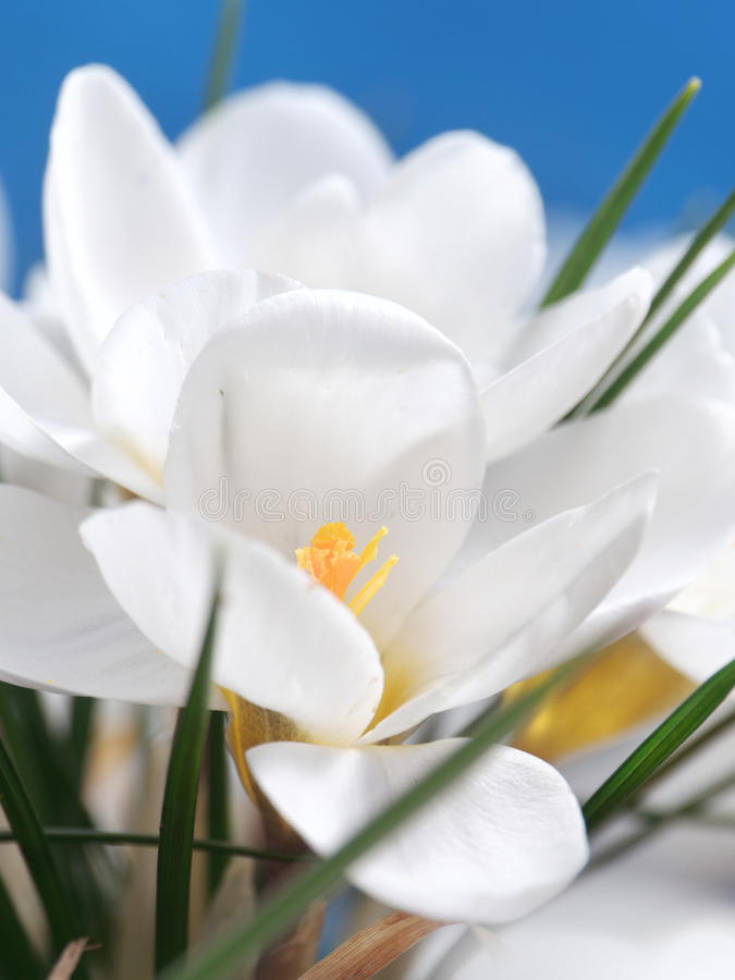 Witte krokussen stock foto