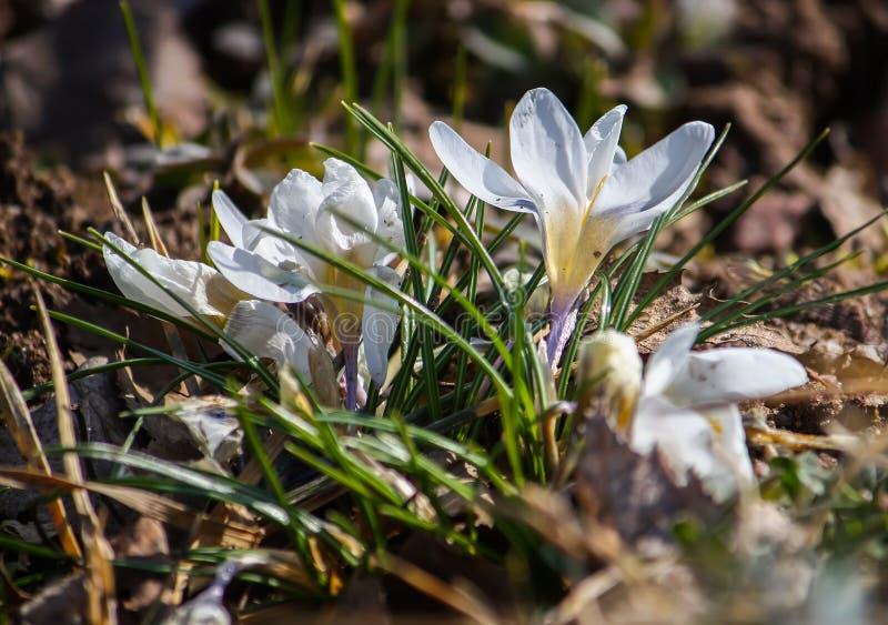 Witte krokussen in de lentepark royalty-vrije stock fotografie