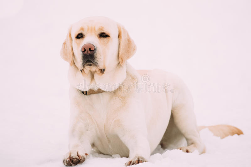 Witte Labrador Sit In Snow, Wintertijd royalty-vrije stock foto's