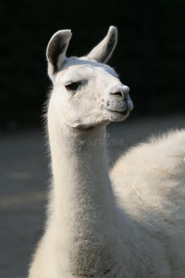Witte lama royalty-vrije stock foto's