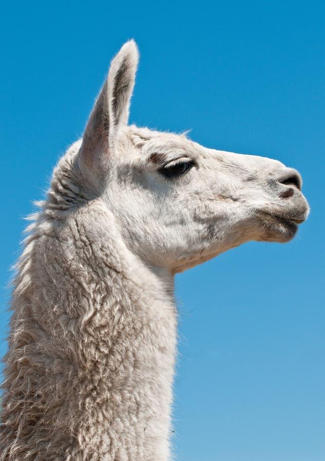Witte lama stock foto's
