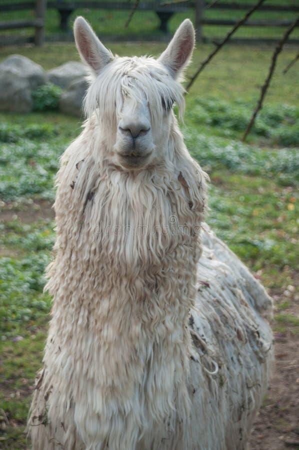 Witte lama in een landbouwbedrijf stock afbeelding