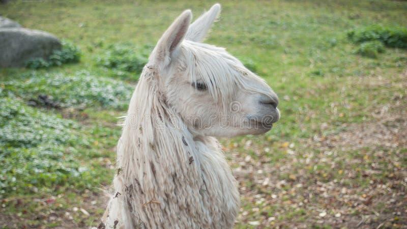 Witte lama in een weide royalty-vrije stock afbeelding