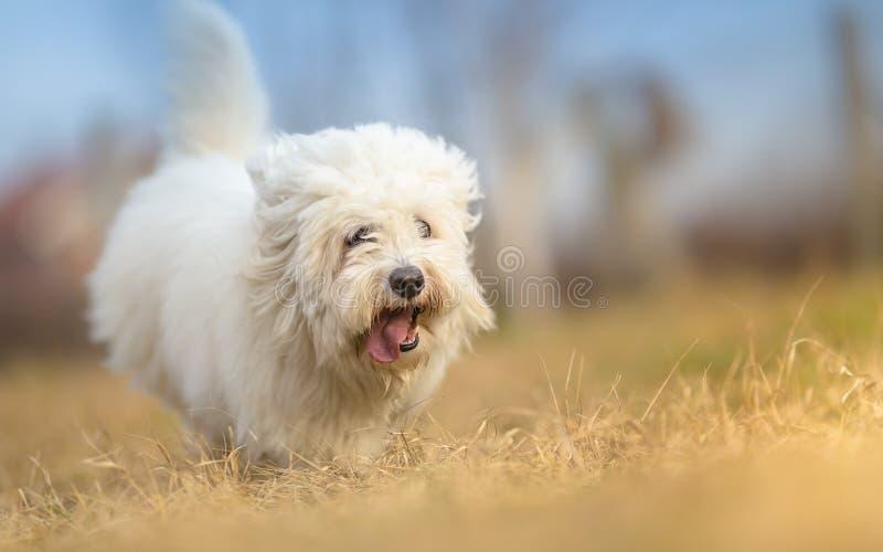 Witte Langharige Hond in looppas royalty-vrije stock fotografie