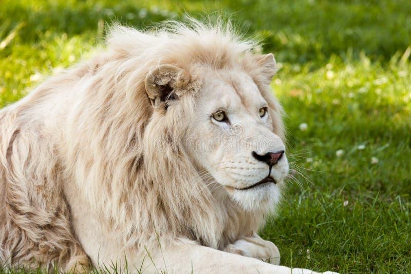 Witte Leeuw royalty-vrije stock foto's