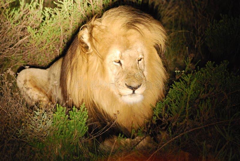 Witte leeuw in Afrika royalty-vrije stock foto's