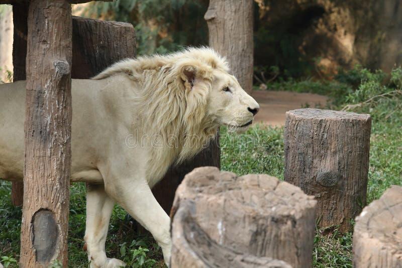 Witte leeuw in dierentuin stock afbeelding