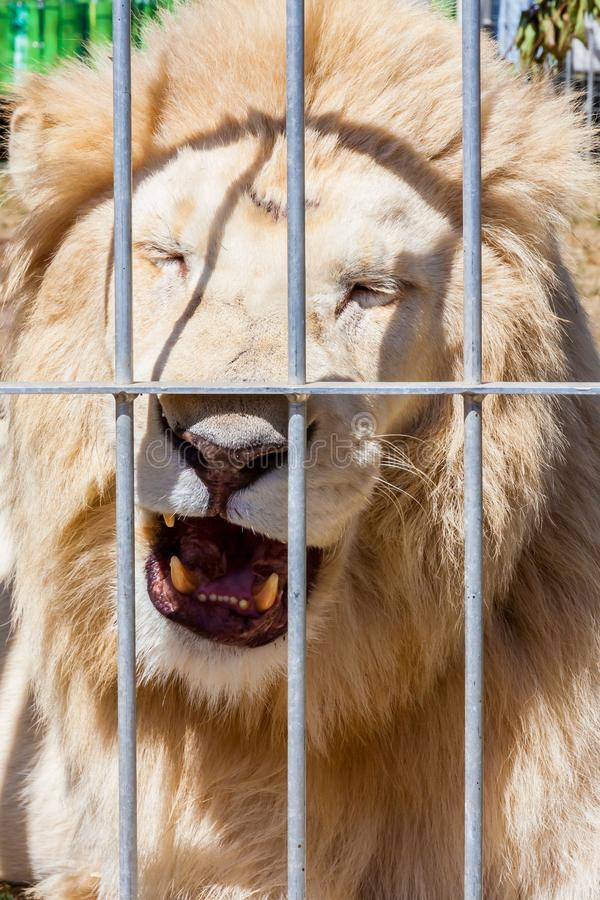 Witte leeuw in een circus stock foto's