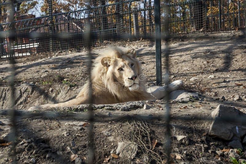 Witte leeuw in kooi stock afbeelding