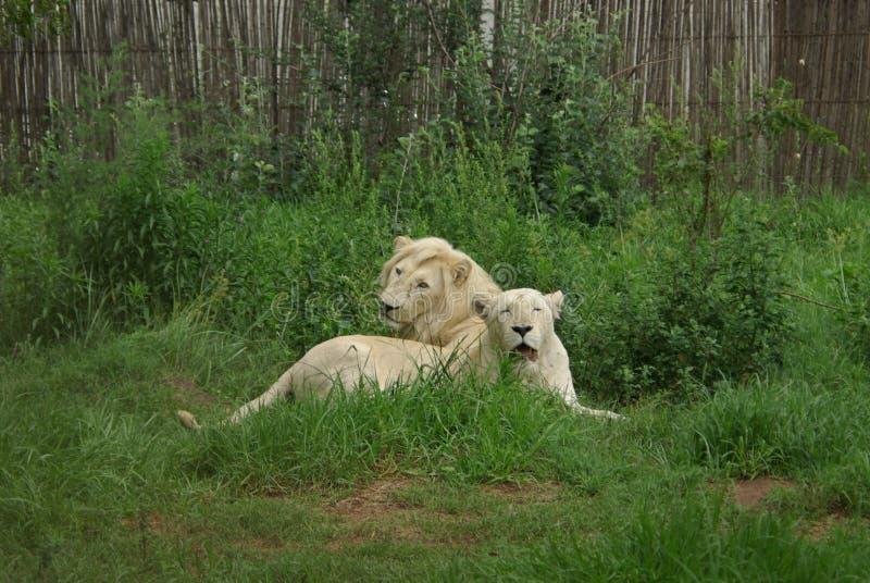 Witte leeuwen royalty-vrije stock fotografie