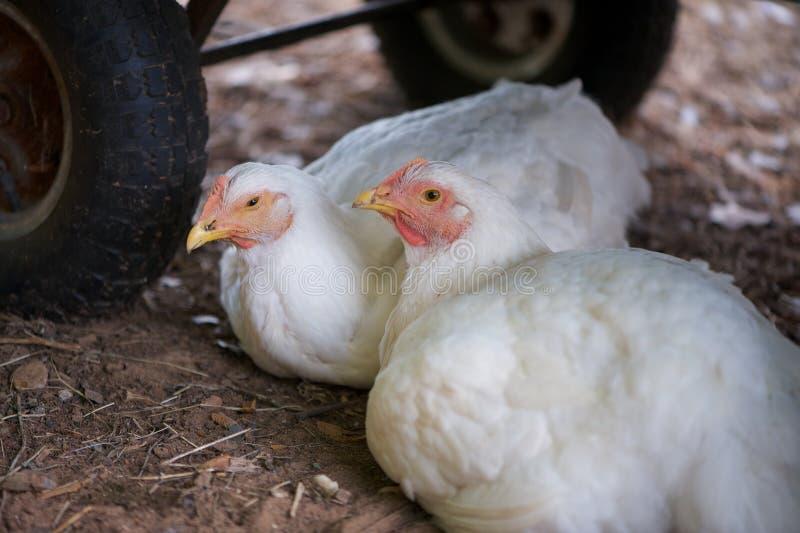 Witte leghorn jonge kippen of jonge kippen royalty-vrije stock foto's