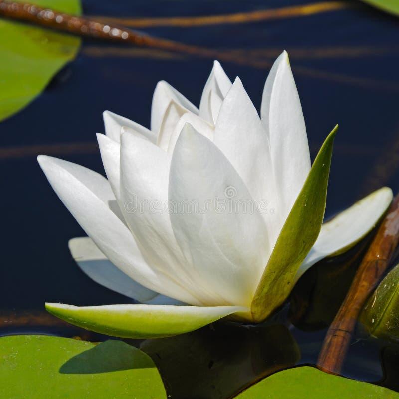 Witte lelie stock afbeelding