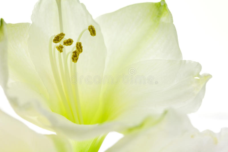 Witte lelie dichte omhooggaand royalty-vrije stock foto