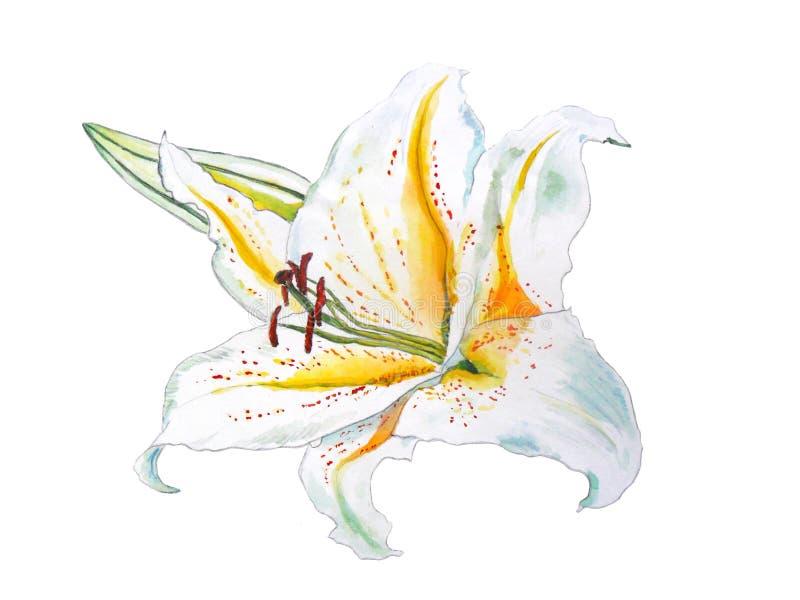 Witte lelie met gele die midden-delen en een knophand in watercolour wordt getrokken royalty-vrije illustratie