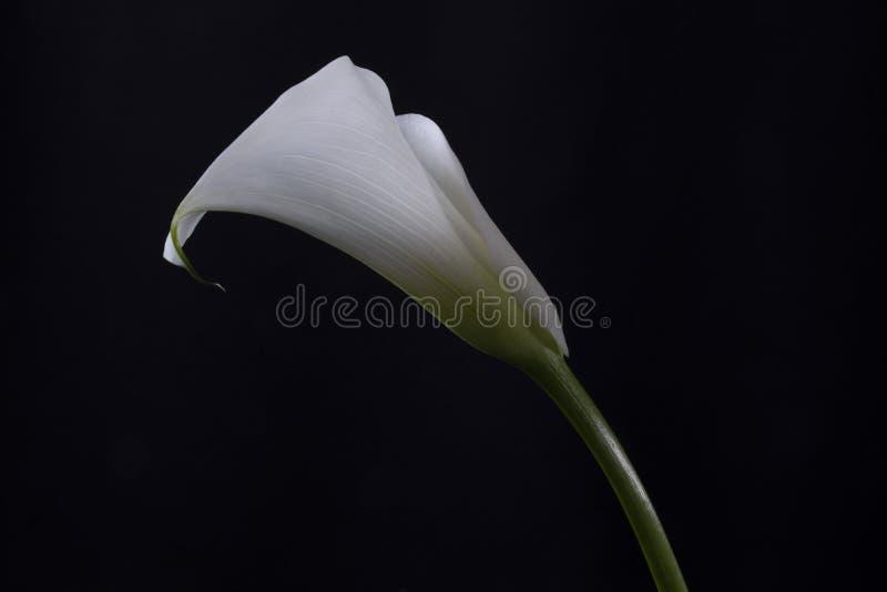 Witte lelie op zwarte achtergrond stock foto